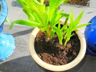 Dette er en ananas- lilje, ikke fordi den bærer ananas-frukt, men fordi de hvit-gule blomstene har form som minner om  ananas. Denne planten kan overvintre, men  må da stå inne.