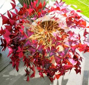 Triangel gjøksyre (oxalis) er navnet på denne planten. Når den blomstrer blir  det enda mer rødt og rosa. Det er farven på de små blomstrene som etterhvert kommer.