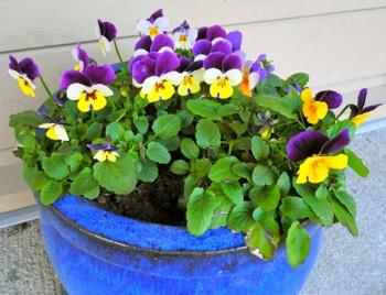 Disse flotte stemors- blomstene står ved inngangsdøren hos Lars og Marta, på skyggesiden med  andre ord. De har  stått der siden midten av mars og er like fine nå, to måneder senere!